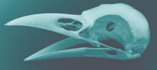 Crow Skull in Blue