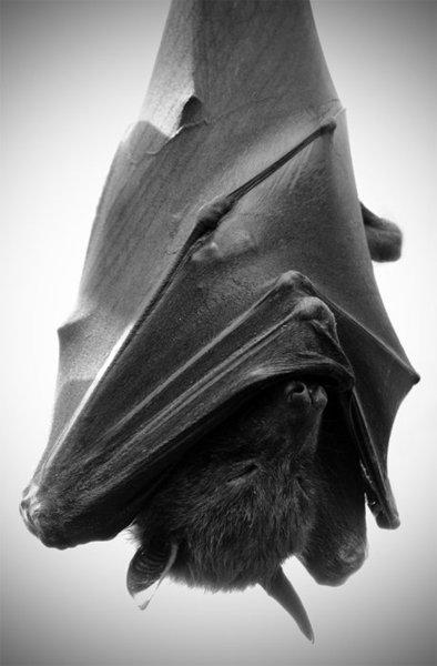 Bat, Sleeping