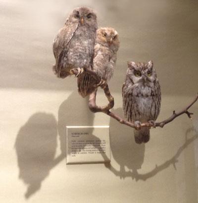 nmnh_birds_owls
