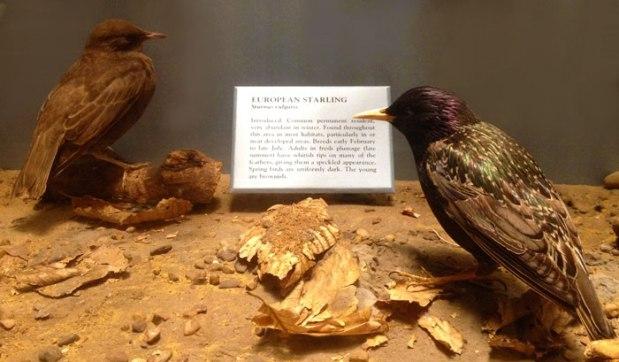 nmnh_birds_starling