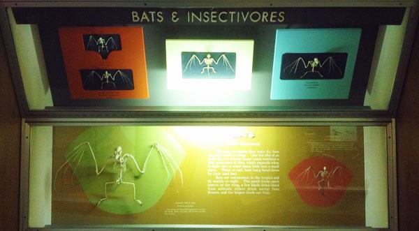 nmnh_evolution_bats