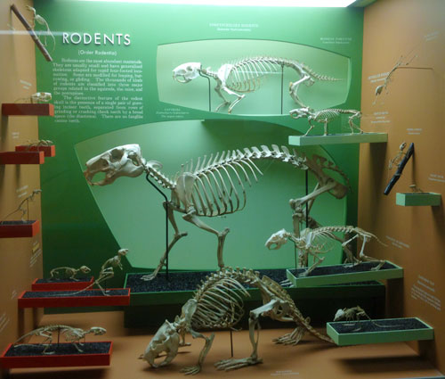 nmnh_evolution_rodents