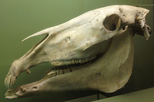 nmnh_fossil_horseskull
