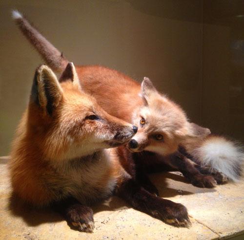 nmnh_mammalhall_foxsmooch